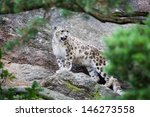 Large Snow Leopard In A...