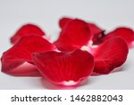 Stock photo close up of red rose petals wilted on a white background seven petals of red rose petals red rose 1462882043