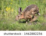 Stock photo wild brown hare running across the field in early morning light 1462882256
