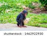 Young Chimpanzee Out Walking I...