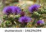 maltese plant  maltese flowers  ...