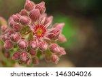 Macro Of Blooming Sempervivum...
