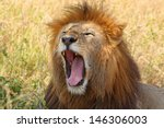 A Male Lion  Panthera Leo ...