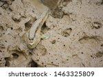Mudskipper  Amphibious Fish On...