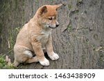 the 6 week old golden dingo puppy is sitting on a log