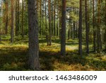 Light and shadows among the pine trees of the Linnansaari National Park in Finland