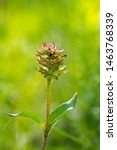 Small photo of Prunella vulgaris (Prunella vulgaris) is a herbaceous plant of the labiatae family.