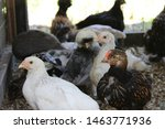 Pullet Chickens  Four Weeks Ol...