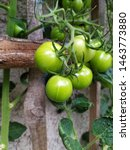 fresh green tomato plant growing | Shutterstock . vector #1463773880