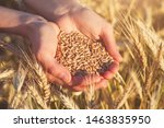 Handful Of Ripe Wheat Seeds And ...