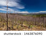 Burned Trees in the Rio Grande National Forest in Mineral County, Colorado