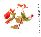 Red Begonias Twig Isolated On...