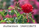 Red Rose Flower Bloom On A...