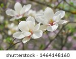 White Magnolia Flowers Bloom O...