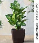 Small photo of Dieffenbachia Dumb canes plant in black pot