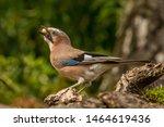 Nut Eating Eurasian Jay In The...