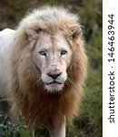 A Big Male White Lion Stares A...