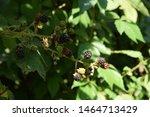 Sun Ripened Wild Blackberries   ...
