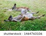 Close Up Two Kangaroos Relaxing ...