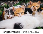 Stock photo three colored cat with beautiful yellow eyes feeds kittens kittens with their mom cat family 1464768569