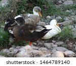There Are Three Ducks In Which...
