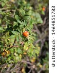 Rosehip Berry And Leaves In A...
