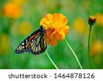 Monarch Butterfly Clings To A...