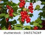 closeup of homegrown red... | Shutterstock . vector #1465176269