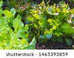 Organic Green Oak Leaf Lettuce...