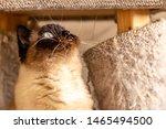 Blue Eyed Siamese Cat Curios...