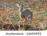 kirk's dik dik | Shutterstock . vector #14654992
