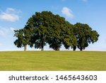 Oak Trees In Summer On Hilltop