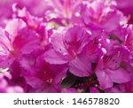 Pink Azalea Flowers In The...
