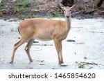 White Tail Deer Wandering...