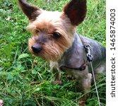 Stock photo photo puppy dog breed yorkshire terrier puppy yorkshire terrier for a walk dog on the 1465874003