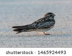 Common nighthawk standing on a road