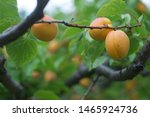 Perfectly ripe Tilton apricots awaiting harvest on organic farm in Cawston British Columbia