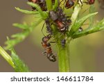 Red Wood Ants With Aphids