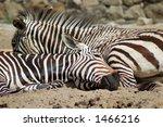 zebra | Shutterstock . vector #1466216