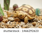 Stock photo africa spurred tortoise are born naturally tortoise hatching from egg cute portrait of baby 1466292623