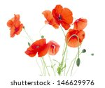 Corn Poppies With Seed Pods And ...