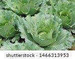 Cabbage Or Brassica Oleracea...