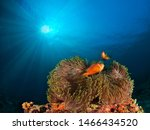 Two clownfishes (anphiprion nigripes) patrolling their anemone in the Maldives reef in the Indian Ocean