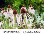 Echinacea Pallida  Or Commonly...