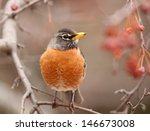 Front View Of American Robin ...