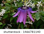Passion Fruit Flowering And...