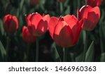 Tulip Flower Bloom In Spring...