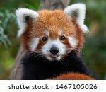 Endangered Red Panda In...