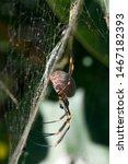 Sydney Australia  Orb Spider...