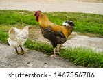 Reproduction. Chicken And...